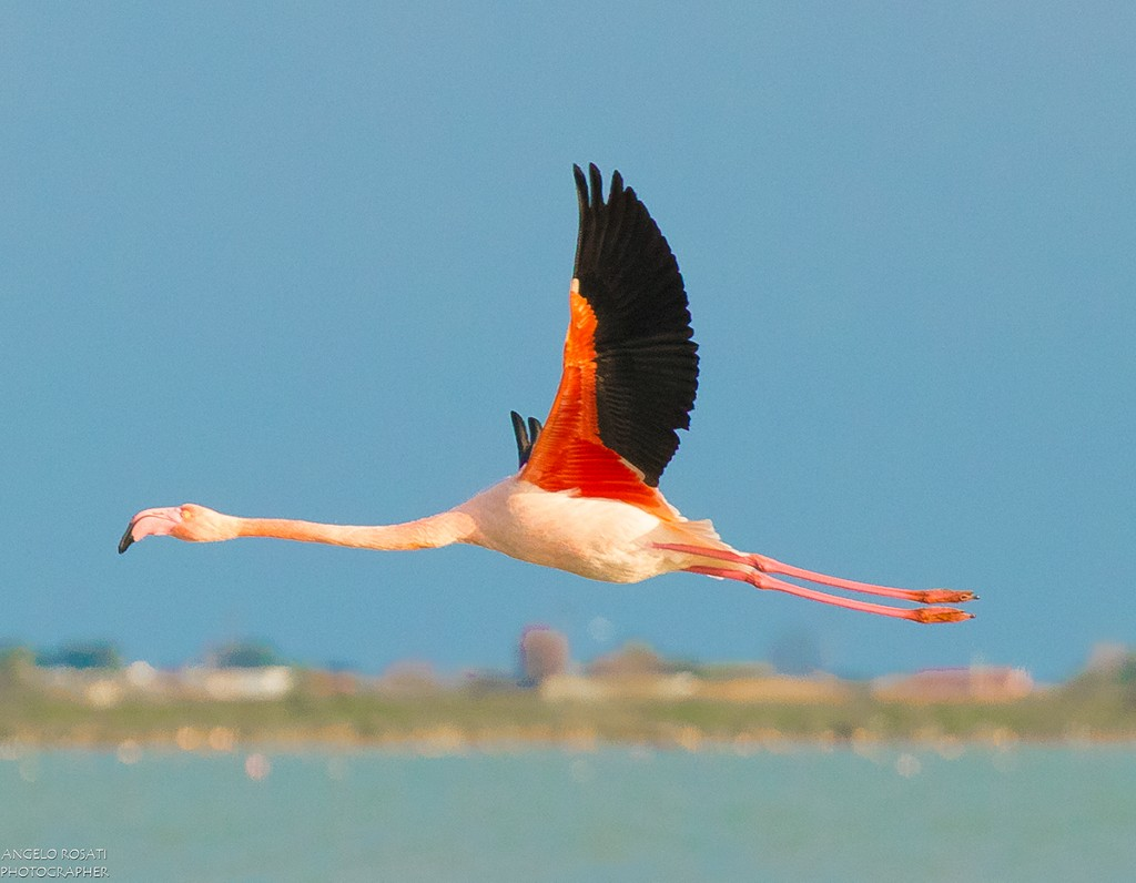The Greater Flamingo Internet